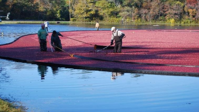 Cranberry crop projected to be down 4 percent this year