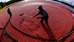 Massachusetts cranberry farmers upbeat about harvest despite challenges