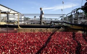 Weather bogs down cranberry production estimate