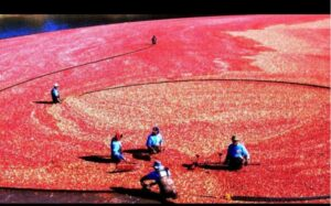 Read more about the article SEEING RED: October is 'Massachusetts Cranberry Month'