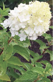 Spring hydrangea flowering starts in fall