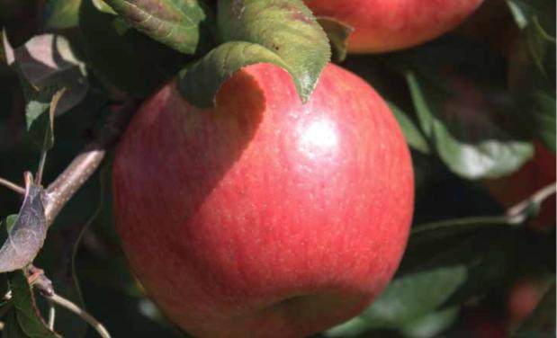 Rebooting the apple