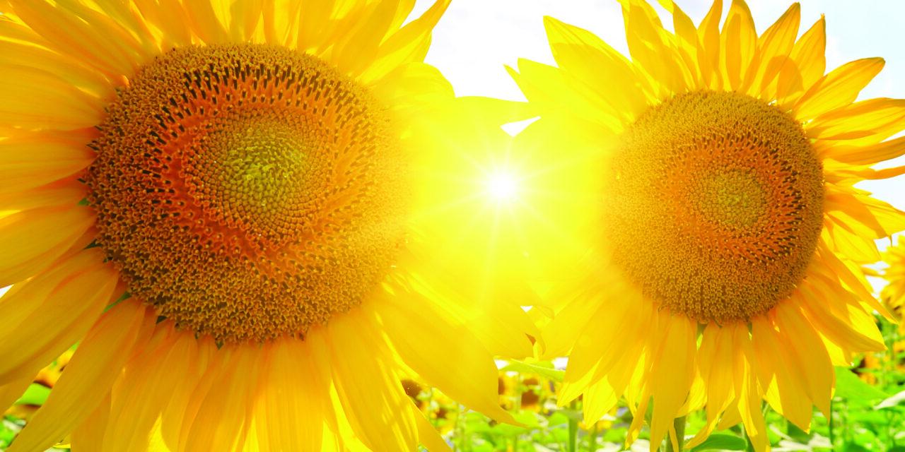 Sunflowers are a beauty everyone enjoys