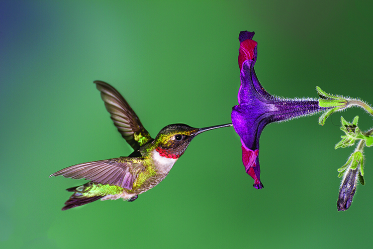 Help out those hummingbirds … naturally