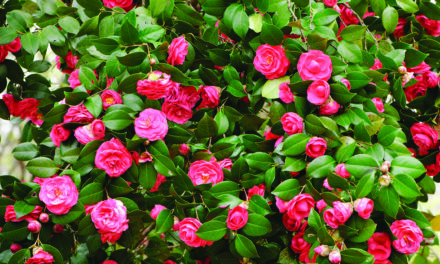 Camellias can grow here