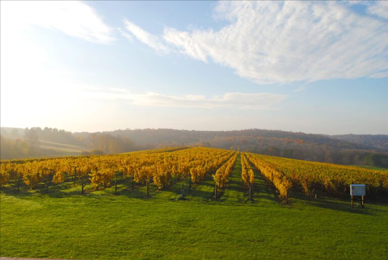 autumn vineyard with bright yellow leaves