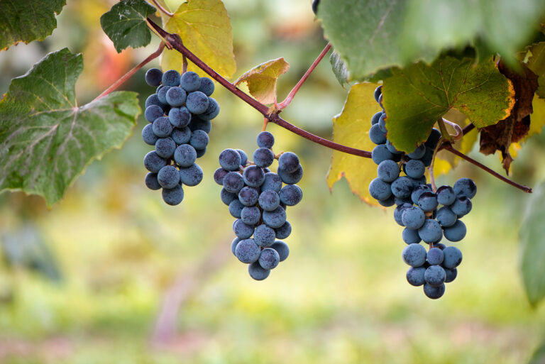Concord grapes hanging from vine