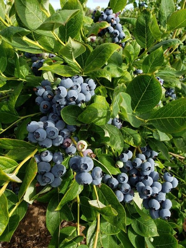 Blueberries grown on bush