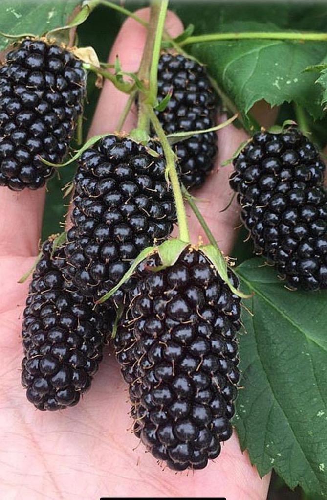 Blackberry Variety