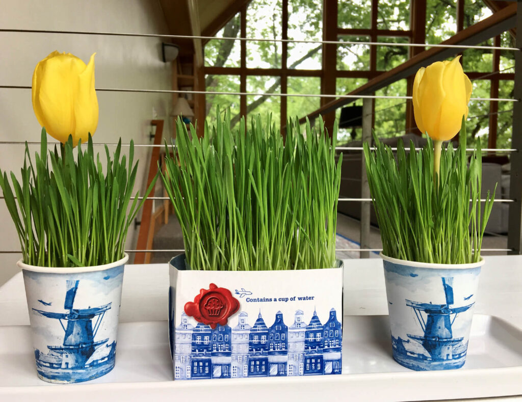 Grow wheat berries indoors KLM souvenir cup tulips