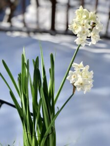 Grow Paperwhites Indoors
