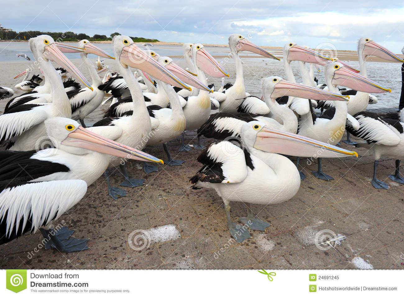 flock-australian-pelican-white-bird-australia-24691245