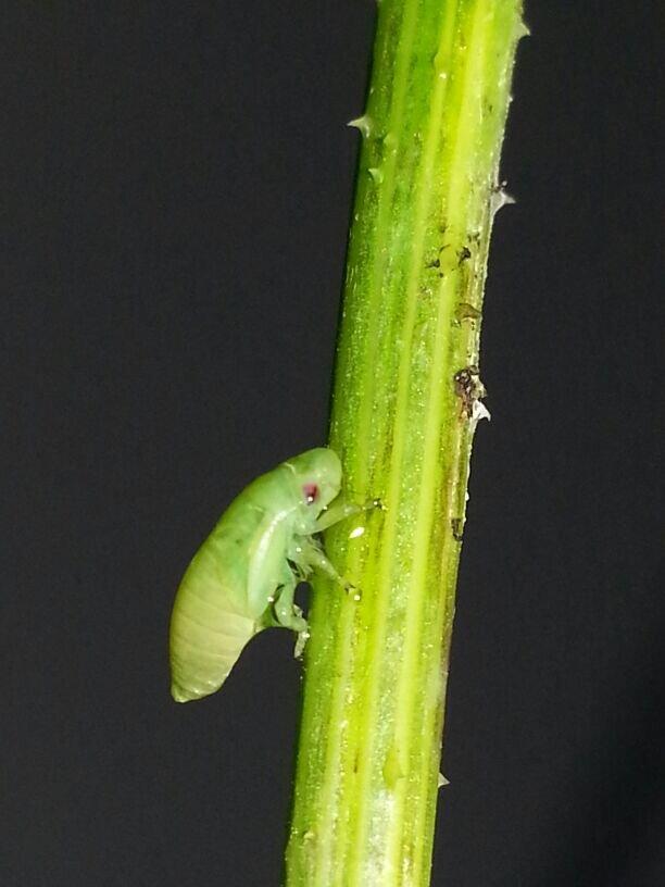 Larval stage of the Philaenus spumarius