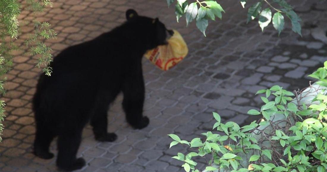 Oso roba orden de Pollo Loco en Nuevo León; otro oso similar es buscado por la Profepa