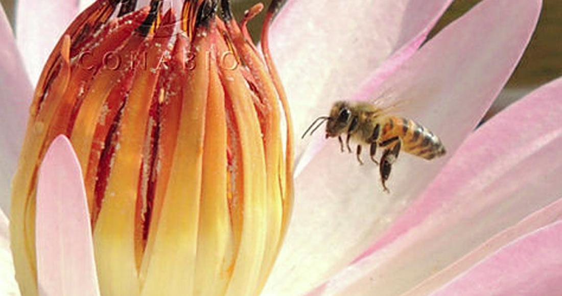Parálisis crónica, la peligrosa amenaza viral que mata a las abejas en todo el mundo