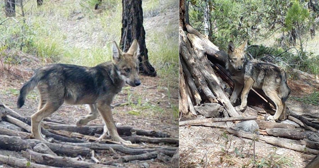 La Conanp registra el nacimiento de 2 cachorros de lobo mexicano, especie en peligro de extinción