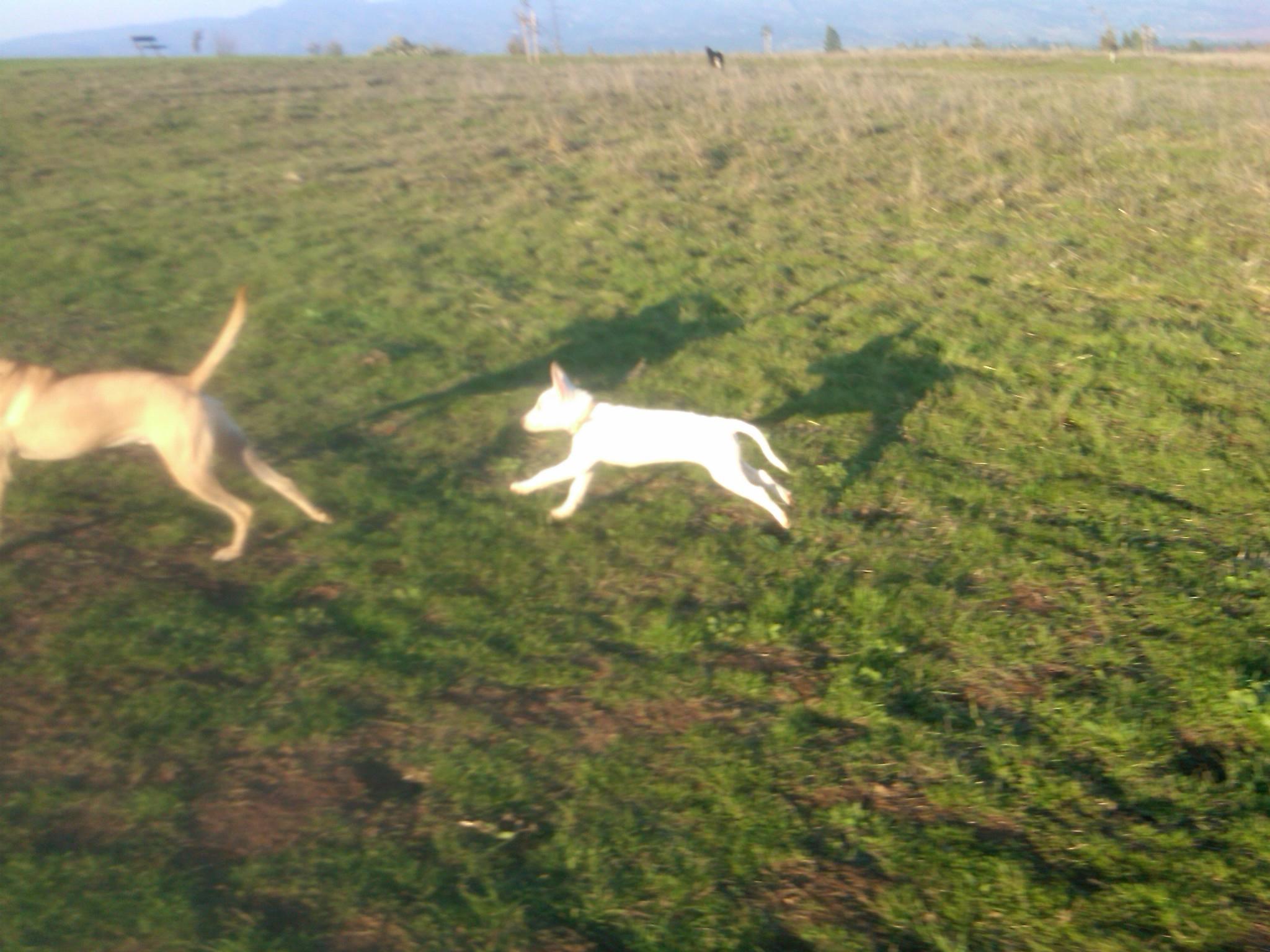 little dog chasing bobo