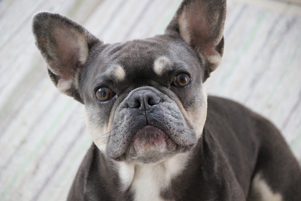 French Bulldog Senior Care