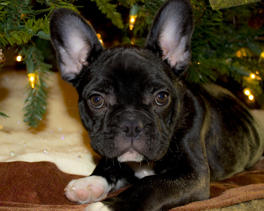 Why Is A French Bulldog So Expensive?