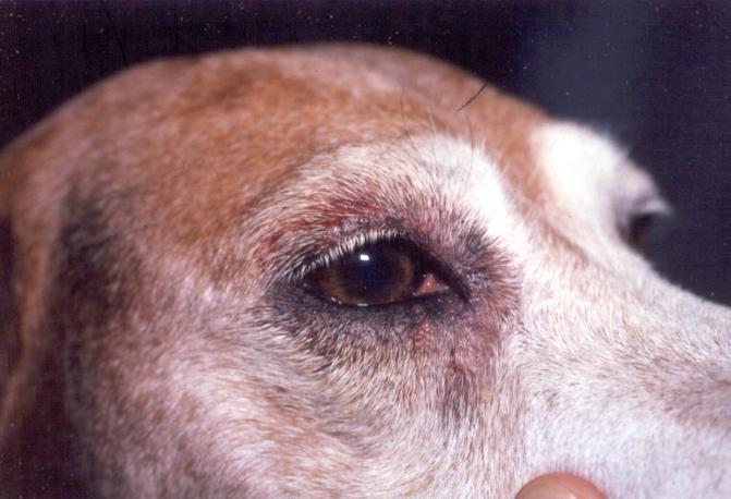Loratadine for dogs