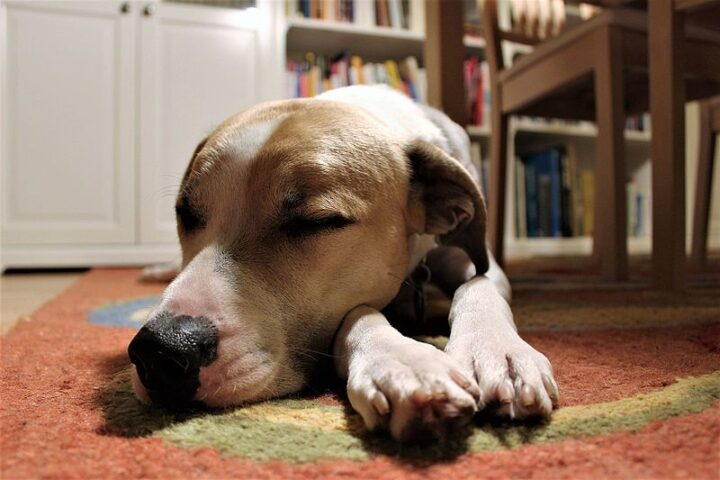Dog Sleeps