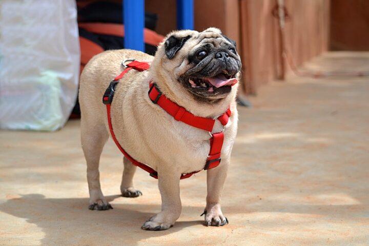 How Long Do Pugs Live