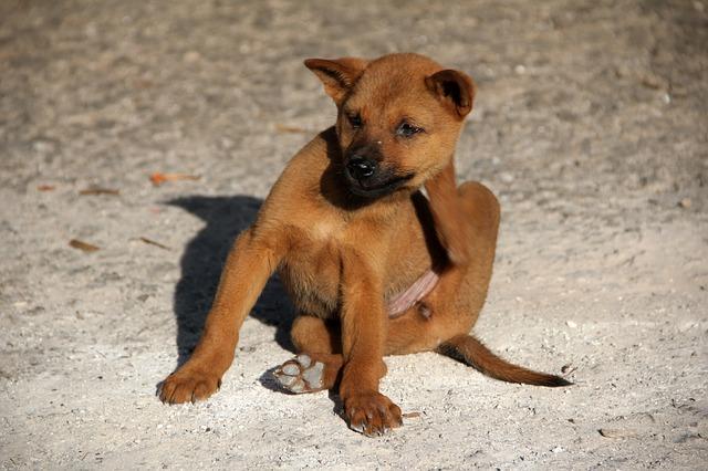 Dog With Folliculitis