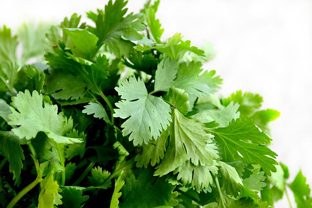 Cilantro for dogs
