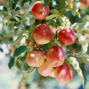 Harvesting & Preserving Forgotten Fruit