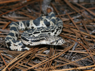 Harmless pine snakes are rare and elusive. The NCWRC is seeking information about sightings of the snakes to better judge the status of the species. (Courtesy Jeff Hall NCWRC)