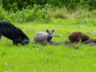 "In addition to electronic calls, nighthunting, dogs and bait, hunters have another tool to use in hoghunting– technology. The N.C. Wildlife Resources Commission has unveiled a new online reporting tool for people to report any sightings of feral swine or damage to the agency. Feral swine, also called wild boar and feral hogs, are an invasive species that cause significant damage to plant communities and wildlife habitat, prey on native wildlife, compete with native species for limited food and clean water resources and potentially spread diseases that pose substantial risk to livestock, wildlife, humans and pets. Commission biologists, along with other members of the N.C. Feral Swine Task Force, are seeking information from the public to better understand the distribution and abundance of feral swine across the state, and to estimate type and extent of damages they are causing, including damage to agricultural crops, timber, wildlife habitats, landscaping and others. Reported sightings will help members of the task force determine priority areas where they can focus management efforts. Education and outreach events, technical assistance staff, loaner traps, and other control measures will be focused in areas of greatest need. ""Reports we receive from the public will be extremely important for developing a baseline of information, which we will then use to track how feral swine move across the landscape,"" said Falyn Owens, the Commission's extension biologist. ""Changes in the reports we receive over time will also provide a measure of effectiveness of feral swine control efforts across the state."" Feral swine are highly adaptable animals that can live in urban, suburban and rural areas from the mountains to the sea. In North Carolina, they are typically found in isolated pockets, and have been reported in most counties of the state. Commission biologists hope that citizen reports will help them better assess the extent that feral swine are impacting the states natural resources. In Columbus county, hogs have displaced deer in many areas around the Waccamaw River. Feral swine are also reportedly moving up the river toward the sensitive ecosystems around Lake Waccamaw State Park. They root cemeteries in Nakina, Old Dock and Crusoe, and destroy crops around Tabor and Clarendon. Rodney Register has become known as the ""Hawg Eradicator"" for his efforts to trap pigs across the county over the past two years. He expects to top the 300 mark this fall. Opportunistic feeders and omnivorous, feral swine will eat almost anything, include a wide range of vegetative matter. While foraging, feral swine root into and turn up the soil, causing extensive damage to landscaping, stream banks, lawns, and agricultural fields. On agricultural and developed lands, they cause an estimated $1.5 billion per year in damages to crops across the United States. While feral swine eat a wide range of vegetation, they also eat snakes, turtles, lizards, the eggs and young of ground nesting birds like quail and turkey, and white-tailed deer fawns. Feral swine have the potential to carry at least 30 diseases and nearly 40 different parasites that can affect humans, pets, livestock and other wildlife. Diseases like brucellosis, pseudorabies, foot and mouth disease, and African swine fever are just some of the concerns when feral swine and people or livestock interact. ""Simply put, feral swine are invasive and undesirable as free-ranging animals on North Carolina's landscape,"" Owens said. ""Unfortunately, illegal releases continue to supplement the growing population, making control of these destructive animals challenging. ""In order to direct resources that will allow landowners and managers to better control feral swine populations and reduce the damages they cause to North Carolina citizens, the natural environment and our native wildlife, we need the public to report sightings to us."" The N.C. Feral Swine Task Force comprises state and federal agencies that are working collaboratively to learn more about and manage the impacts of feral swine in the state. In addition to the Commission, current members include USDA-Wildlife Services, N.C. Department of Agriculture and Consumer Services, Natural Resource Conservation Service, NCSU Cooperative Extension Service, USDA-Veterinary Services, N.C. Association of Soil and Water Conservation Districts and N.C. Department of Health and Human Services. For more information on feral swine in North Carolina, visit the Commission's feral swine web page."