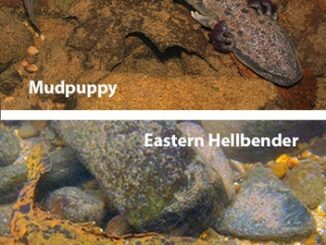 State officials are seeking sightings of mud puppies and hellbender salamanders across the state. (composite courtesy WRC)