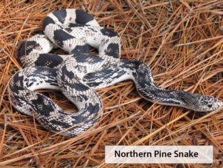 The Wildlife Commission is seeking reports about the Pine Snake, a nonvenomous snake coming to our area. (WRC photo)