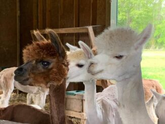Some of Tanya Hilz' alpacas. The animals soft wool is highly sought after for making clothing. (Courtesy photo)