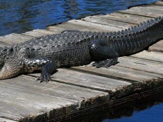 Wildlife officials are urging people not to feed alligators, as it makes the reptile look to humans for food. (Jeff Hall, WRC)