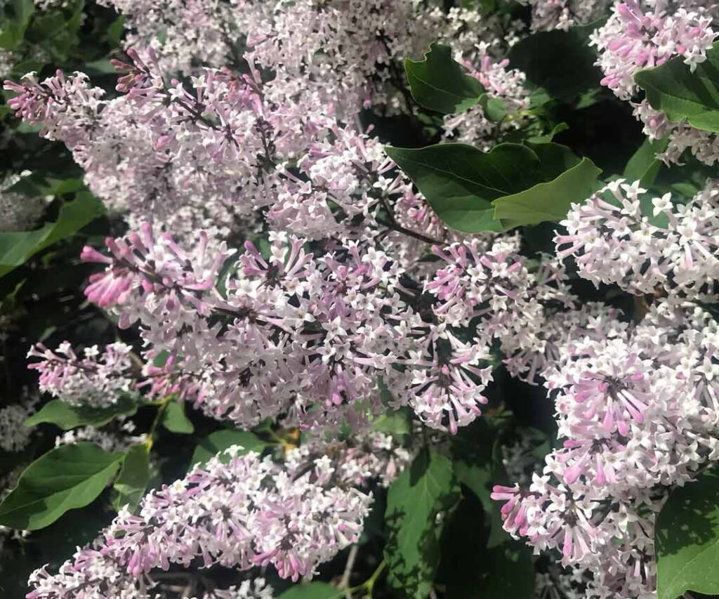 Lilac bush in the Old Town neighborhood of Chicago