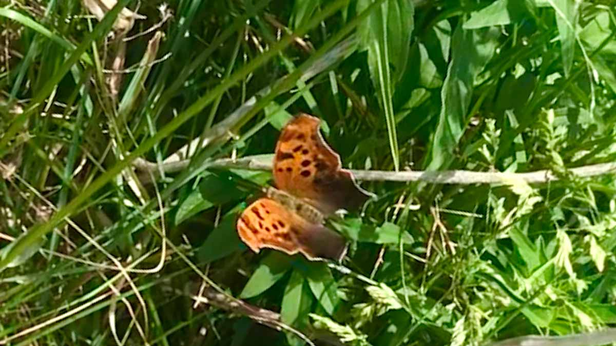 orange and black Question Mark Butterfly taken in Lincoln Park in Chicago