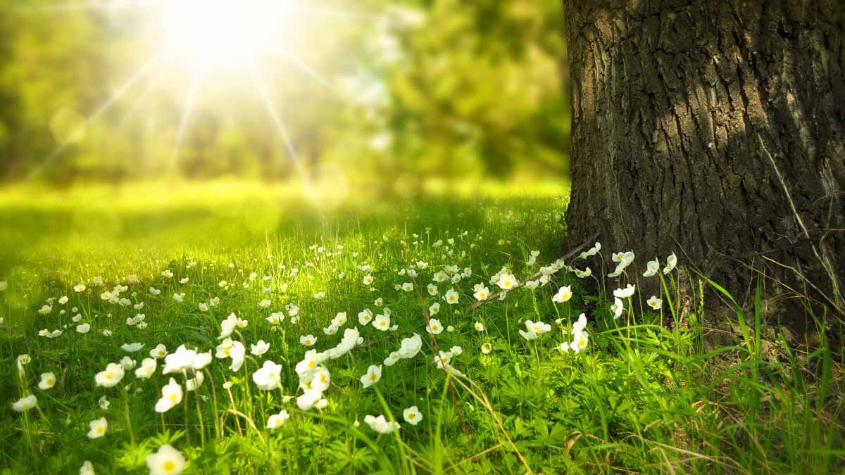 white flowers in green grass with a tree nearby with the rays of the sun shining