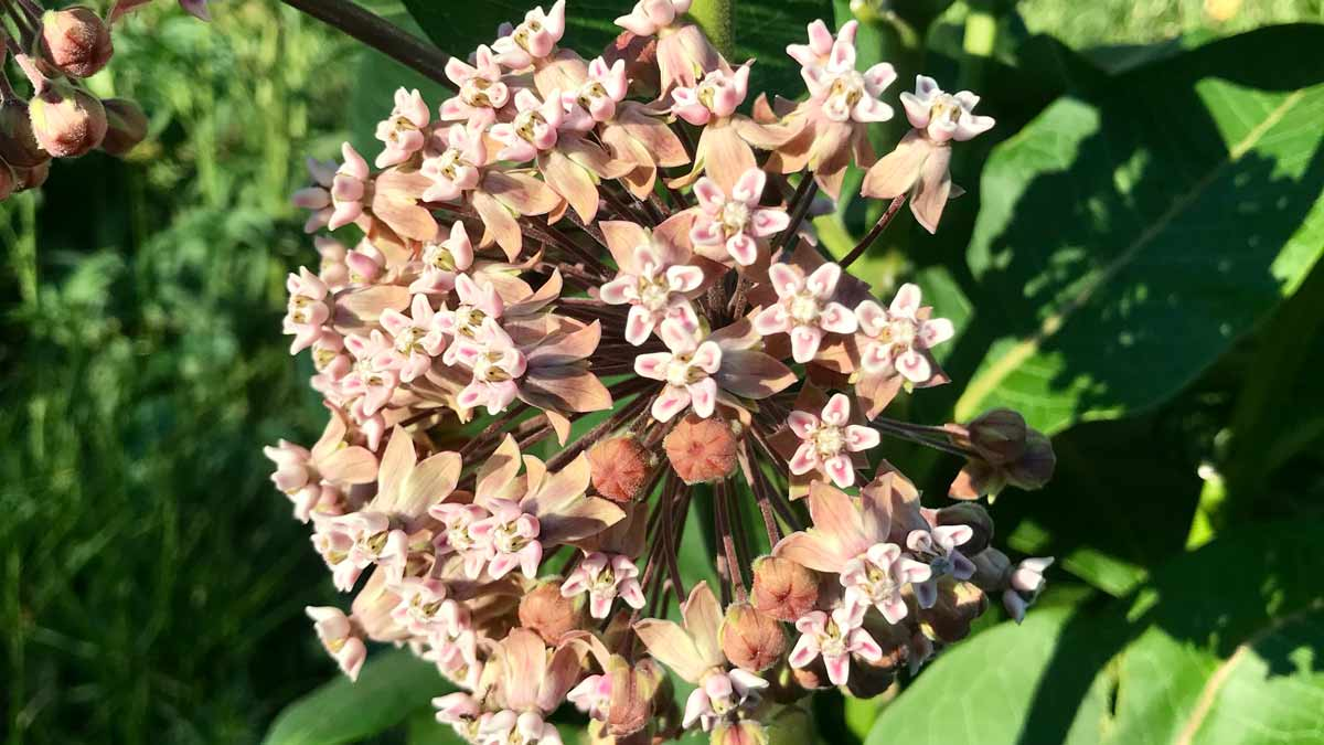 Chicago Reiki -Photo of a blooming milkweed by Jerry Mikutis in Lincoln Park Chicago on June 17th, 2021