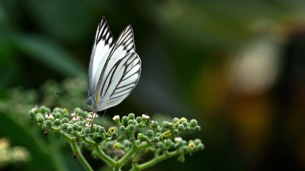 Image of western striped albatross butterfly - Chicago Reiki