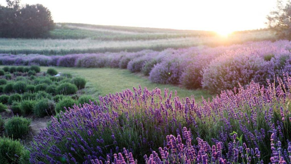 Image of a lavender field with sunlight at the horizon - Reiki Chicago: Holy Love I Experience