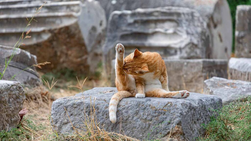 REIKI IN CHICAGO - Online Reiki and Yoga in Chicago: Help Jerry Plan this Class - Image of an orange tabby cat on a rock doing yoga, or cleaning its leg