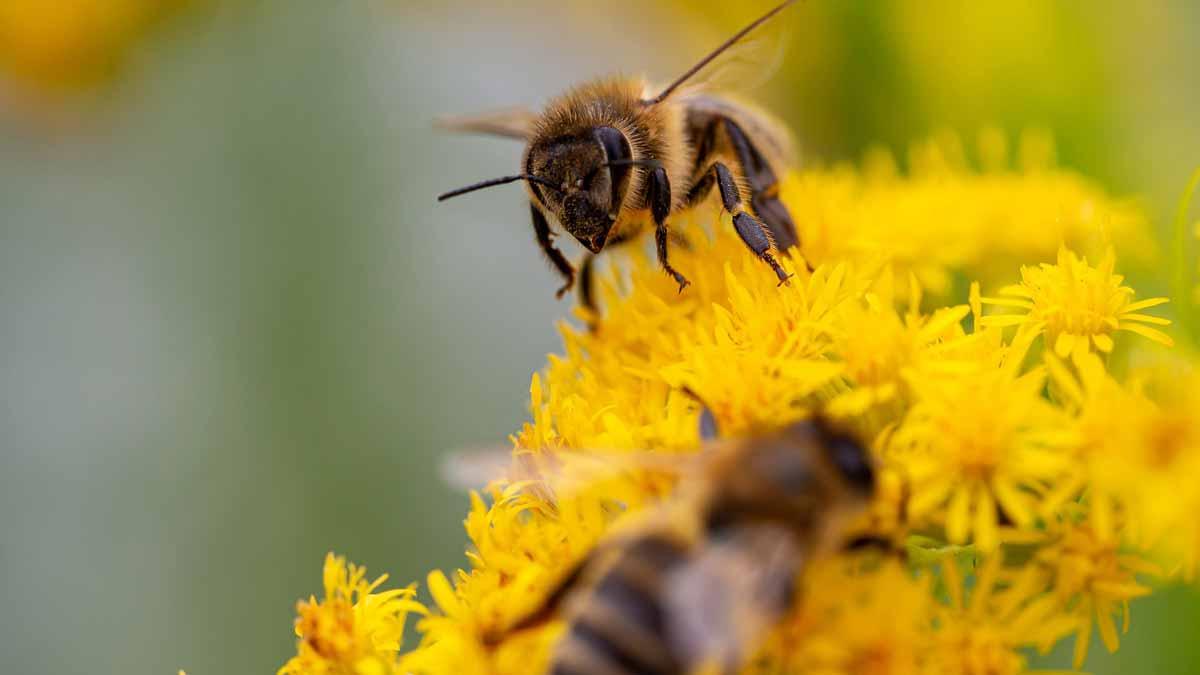 Two bees on goldenrod flowers Jerry Mikutis - Online Chicago Reiki Circle - September