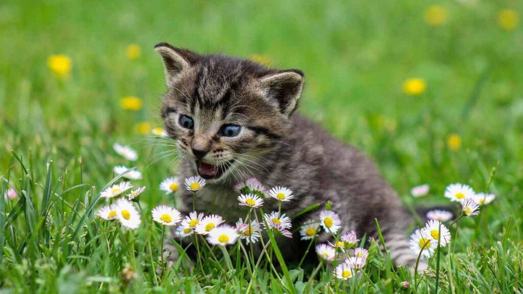 Chicago Reiki Flower Meditation - Online on Zoom- happy kitten in a field of flowers