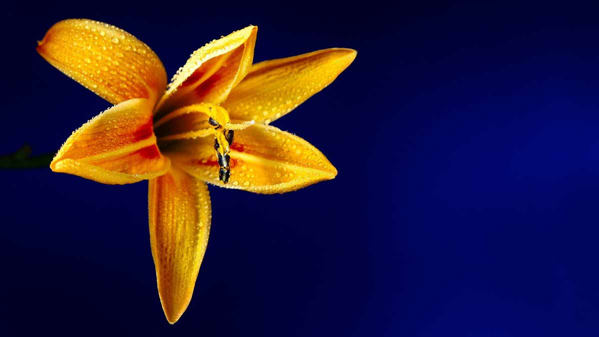 Jerry Mikutis - Wednesday Meditation - Holy Love II Experience  - Chicago Reiki Meditation - orange lily flower