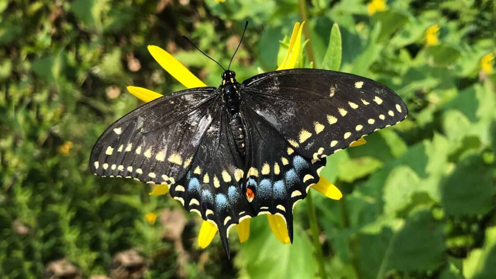 Jerry Mikutis Chicago Reiki - male black eastern swallowtail butterfly by South Pond in Lincoln Park Chicago