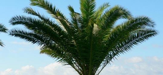 palm-tree4