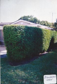 podocarpus-hedge