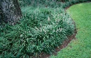 Liriopie - Green grouping