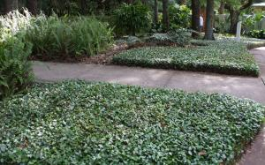 Jasmine - Asiatic - Ground Cover  (Minima)